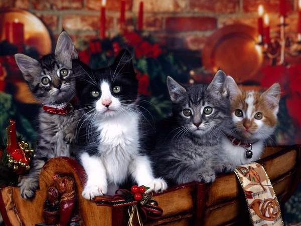 Shangrala's Christmas With Cats