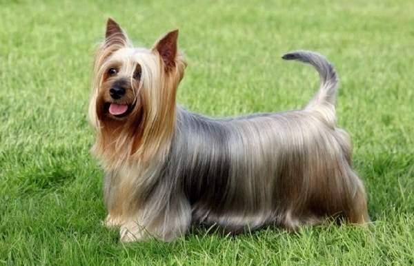 Shangrala's Dogs With Beautiful Long Fur 2