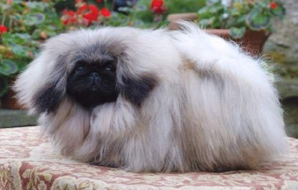 Shangrala's Dogs With Beautiful Long Fur