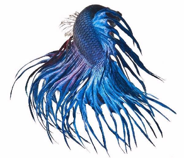 Shangrala's Beautiful Siamese Fighting Fish