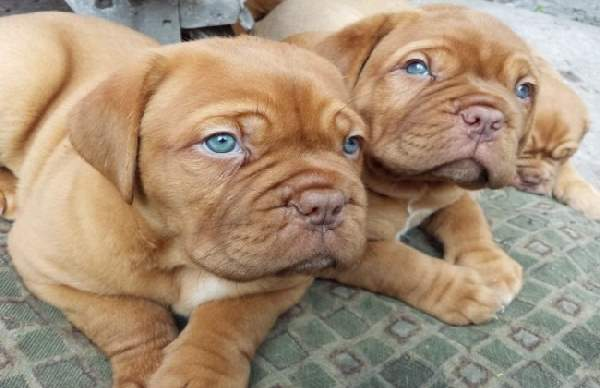 Shangrala's Adorable Wrinkly Puppies