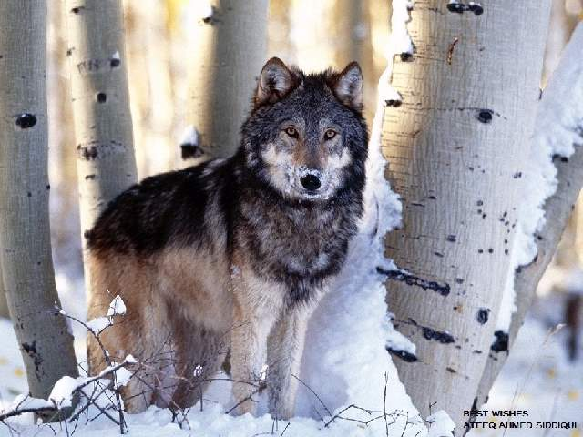 Shangrala's Beautiful Wolves