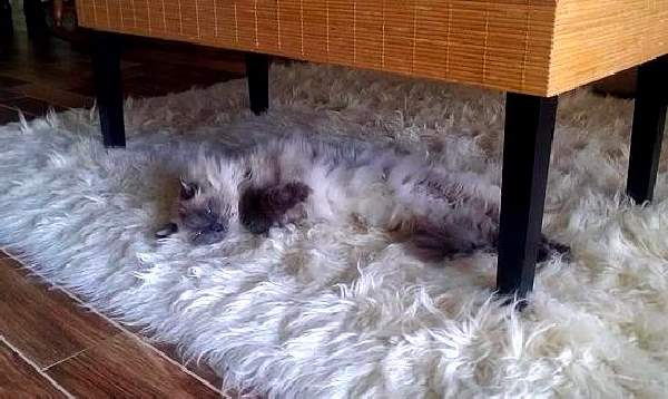 Shangrala's Pets In Camouflage