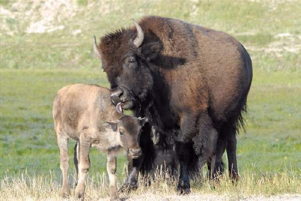 Shangrala's The Mighty Bison
