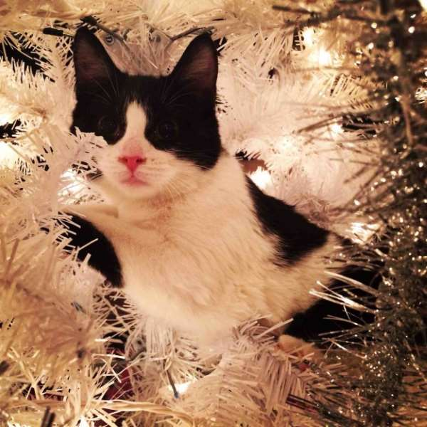 Shangrala's Christmas With Cats 2