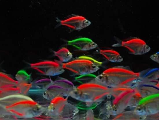 Shangrala's Colorful Fish