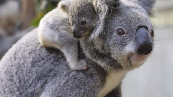 Shangrala's Koalas Up Close