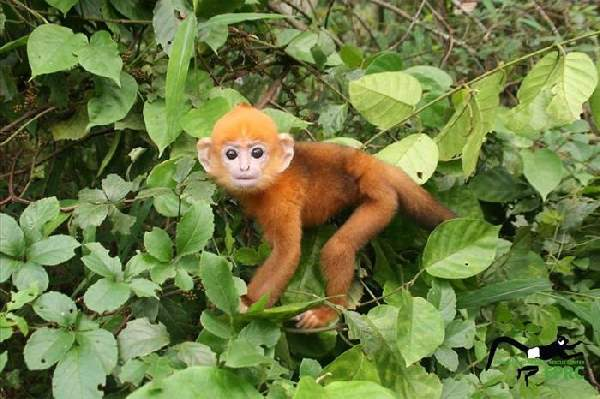 Shangrala's Endangered Primates!