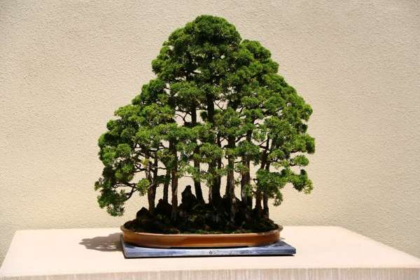 Shangrala's Amazing Bonsai Forests