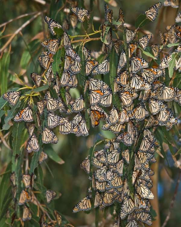 Shangrala's Beautiful Monarch Butterflies