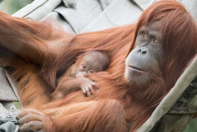 Shangrala's Orangutan Mom And Son