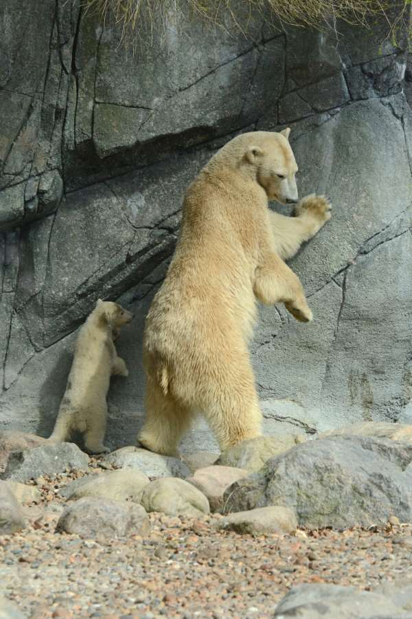Shangrala's Polar Bear Twins