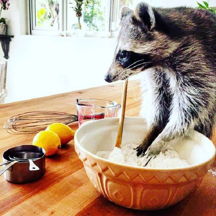 Shangrala's Rescued Raccoon