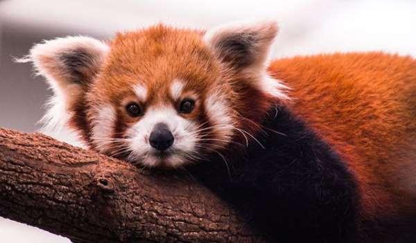 Shangrala's The Red Panda