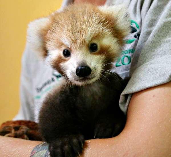 Shangrala's Red Panda Cub