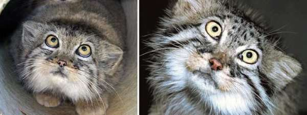 Shangrala's World's Most Expressive Cat