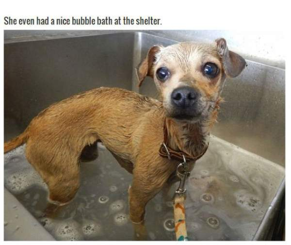 Shangrala's Abandoned Chihuahua Boo