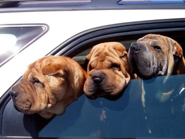 Shangrala's Doggy Road Trip