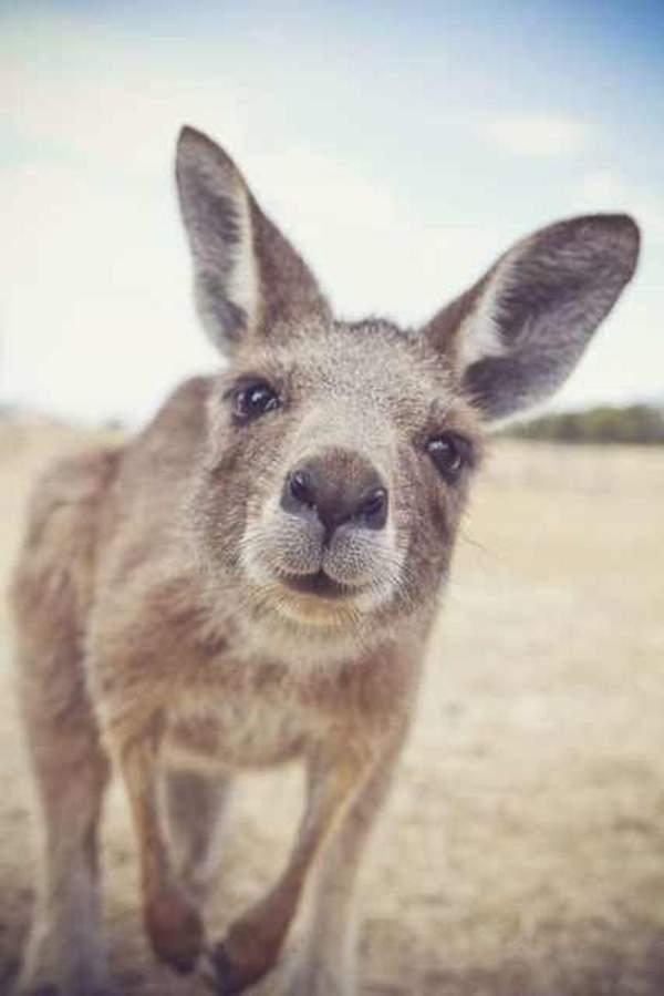 Shangrala's Kangaroos And Wallabies