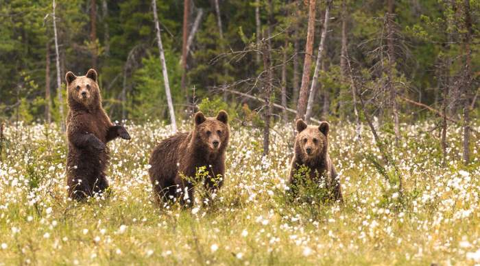 Shangrala's Living With Bears