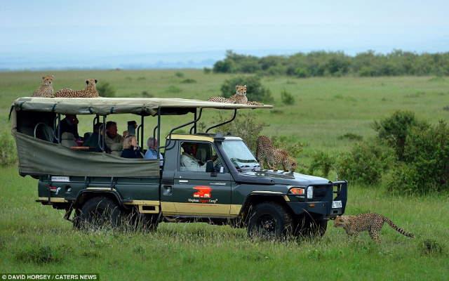 Shangrala's Cheetah Encounter