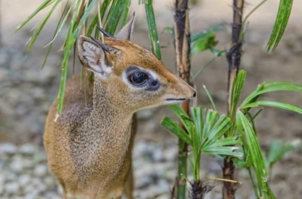 Shangrala's Cute Little Antelope