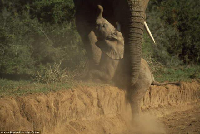 Shangrala's Baby Elephant Fall