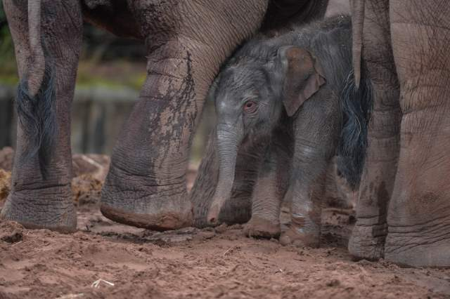 Shangrala's Adorable Baby Elephant