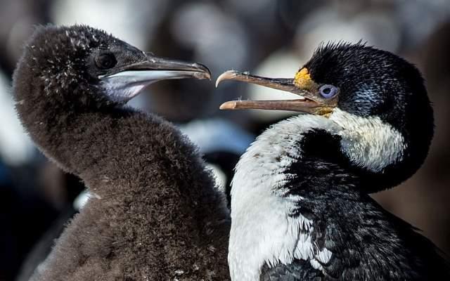 Shangrala's Falkland Islands Babies