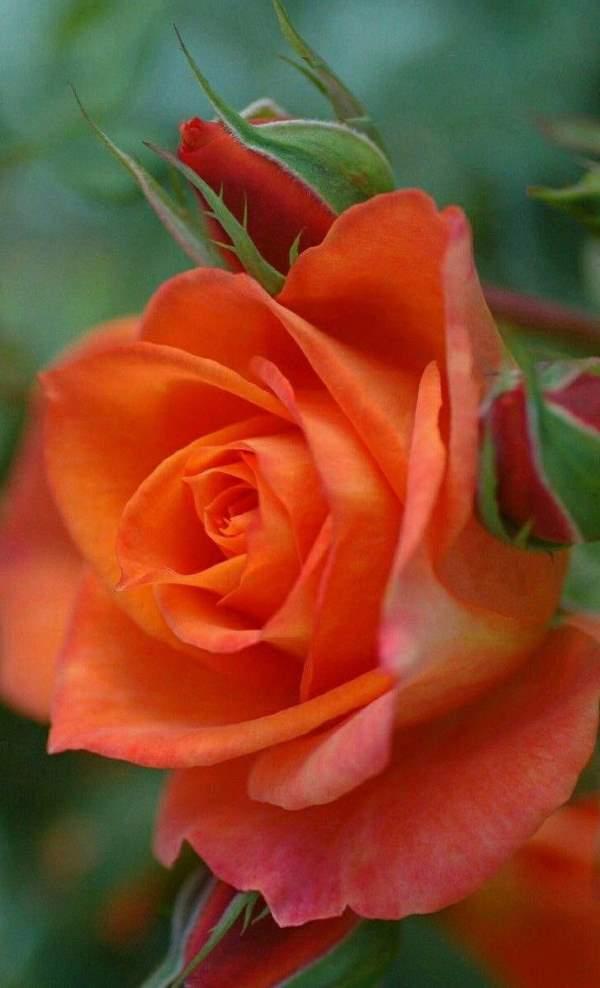 Shangrala's Beautiful Roses