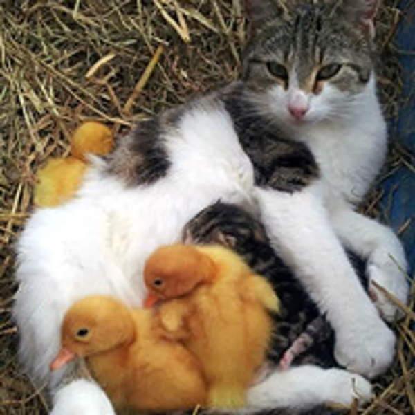 Shangrala's Irish Ducklings