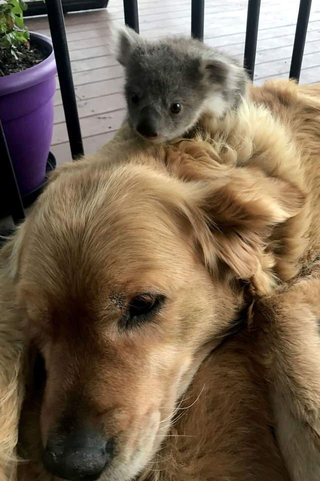 Shangrala's Dog Saves Baby Koala