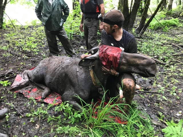 Shangrala's Rescued Moose