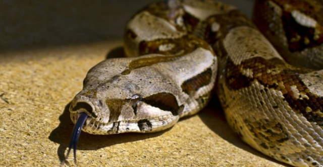 Shangrala's Pet Python