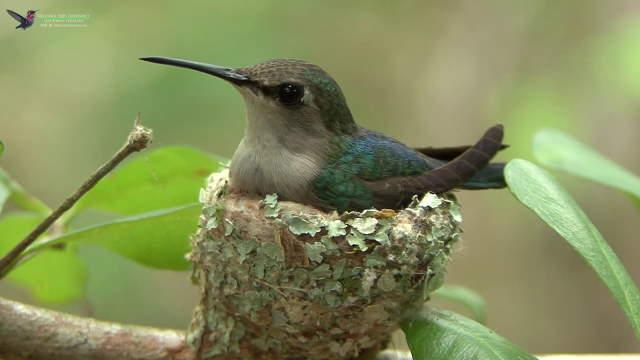 Shangrala's Bee Hummingbirds