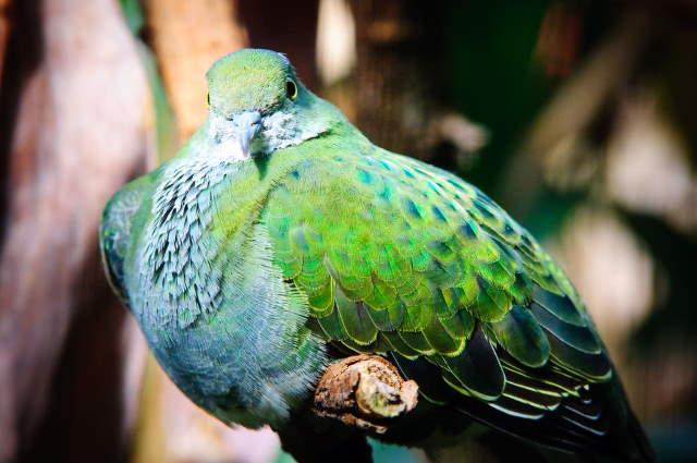 Shangrala's Rainbow Fruit Dove