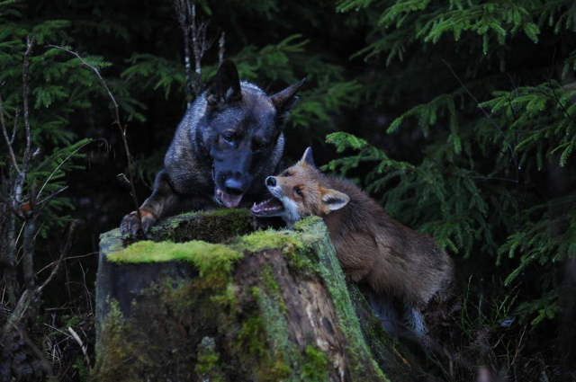 Shangrala's The Fox And Dog