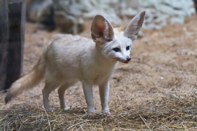 Shangrala's World's Smallest Fox