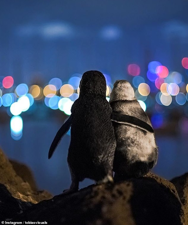 Shangrala's Tale Of Two Penguins