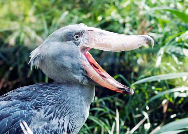 Shangrala's Sushi The Shoebill Stork