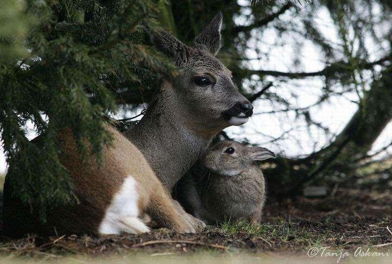 Shangrala's Bambi with Thumper