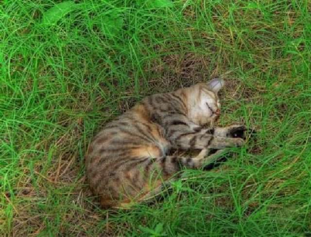 Shangrala's Catnap