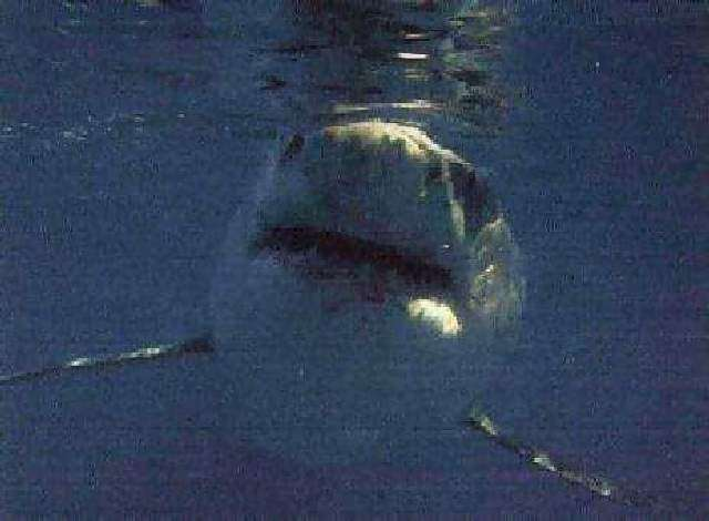 Shangrala's Great White Shark