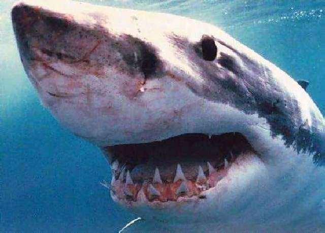 Shangrala's Great White Shark