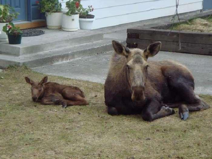 Shangrala's Newborn Moose