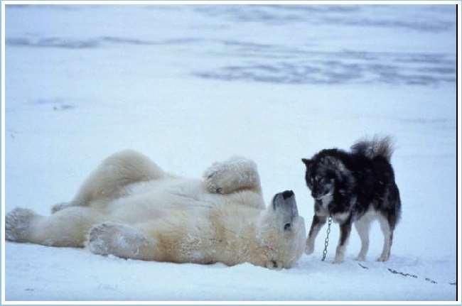 Shangrala's Polar Bear