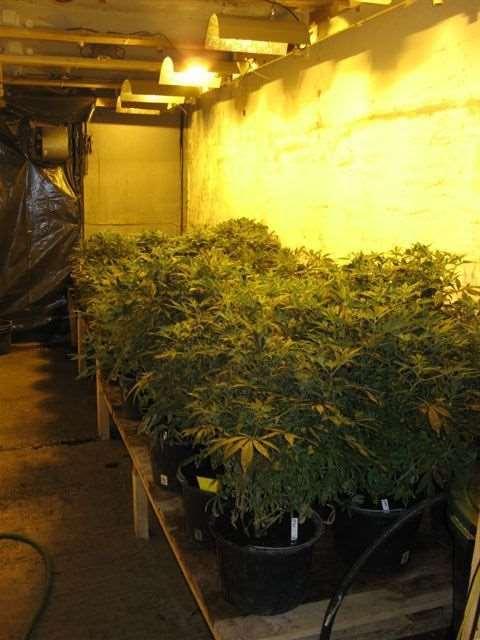 Shangrala's Weed Bust