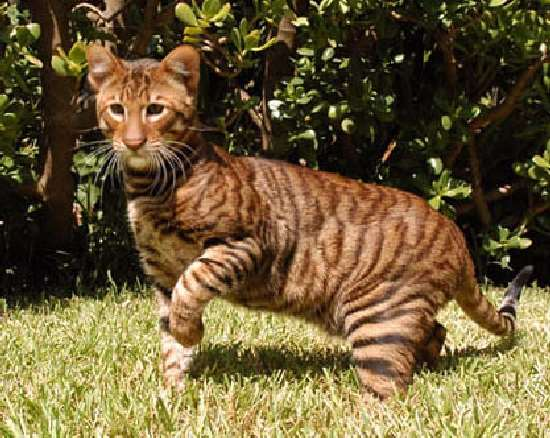 Mini bengal tiger cat