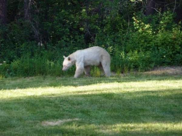 ShangralaFamilyFun.com - Shangrala's Albino Bears!