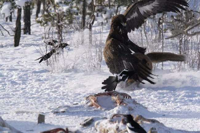 Eagle Fight Off Big Cat
